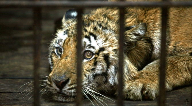 How an Indian wildlife reserve lost 20 tigers in three years