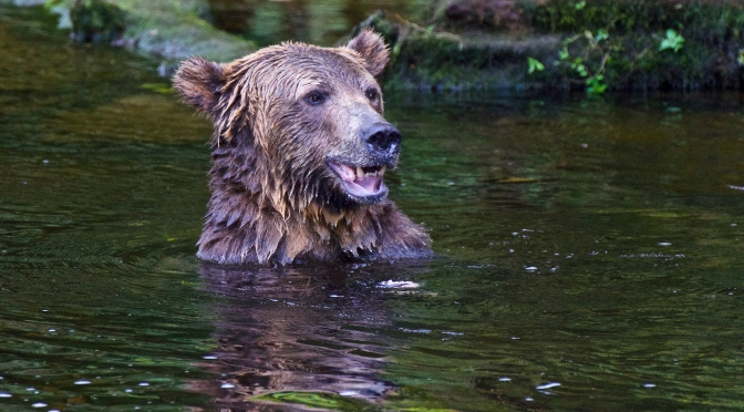 The Grizzlies of The Great Bear Rainforest