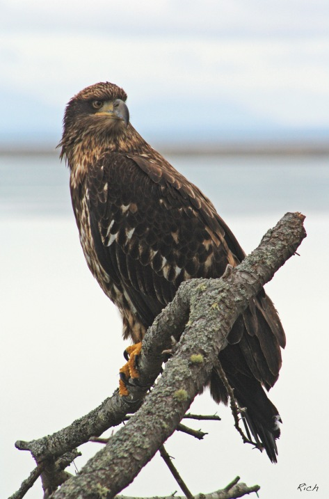 juvenile-bald-eagle